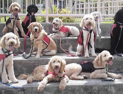 Comment un toutou devient un chien guide?