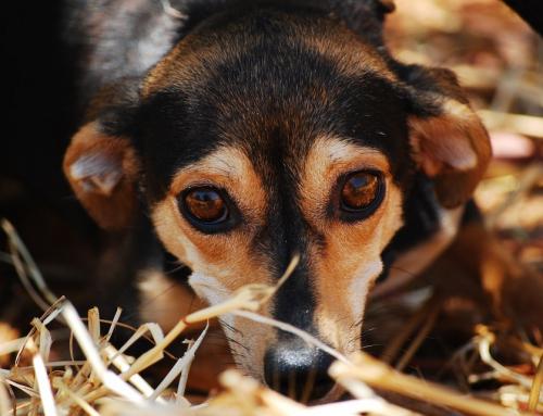 Le caractère de nos toutous : les chiens déstressants