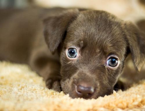 Pourquoi les chiens se perdent aussi rapidement en France ?