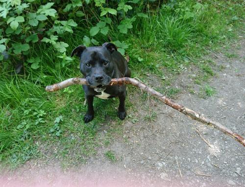 10 questions sur le Staffordshire Bull Terrier