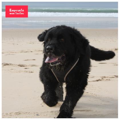 chien terre-neuve courant sur la plage