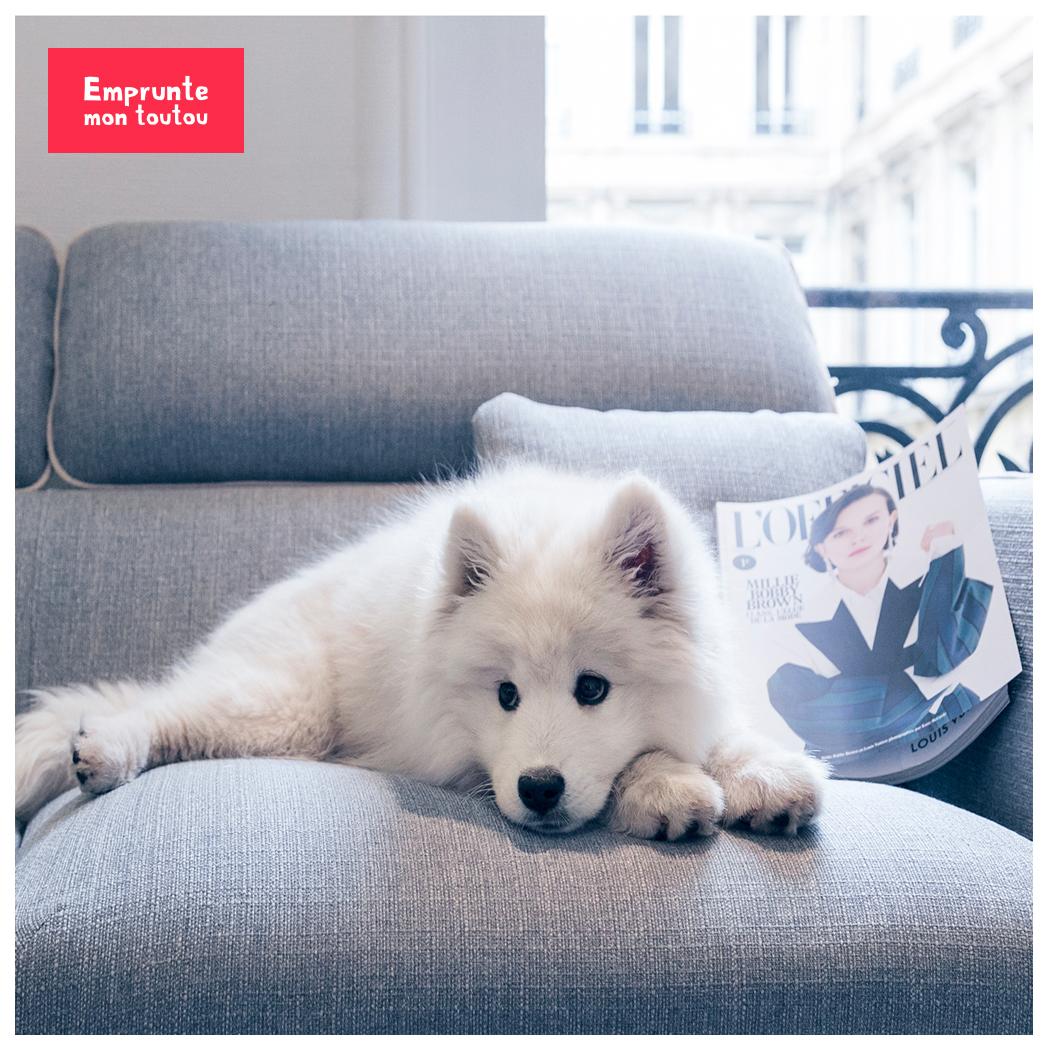 samoyède allongé sur un canapé