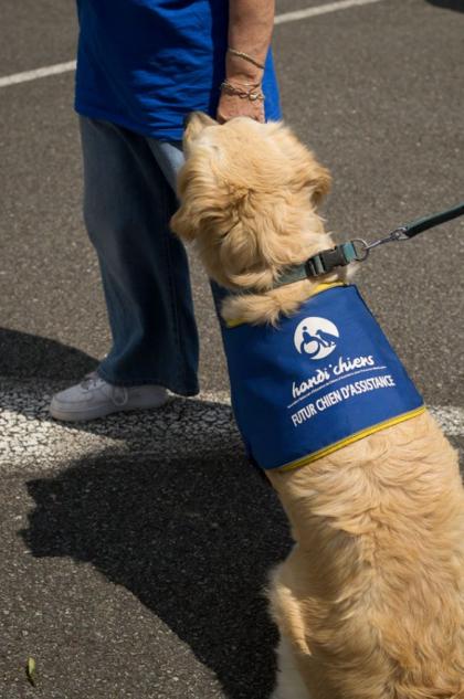 Golden Retriever avec le harnais chiens Guide