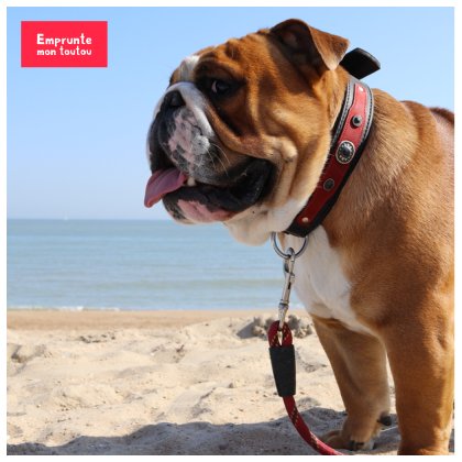 photo de bouledogue anglais sur la plage