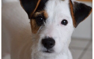PHOTO DE PARSON RUSSELL TERRIER