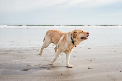 labrador sur la plage