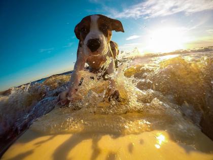chien sur une planche de surf