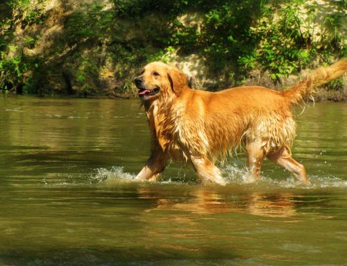 Le caractère de nos toutous: les chiens d'eau