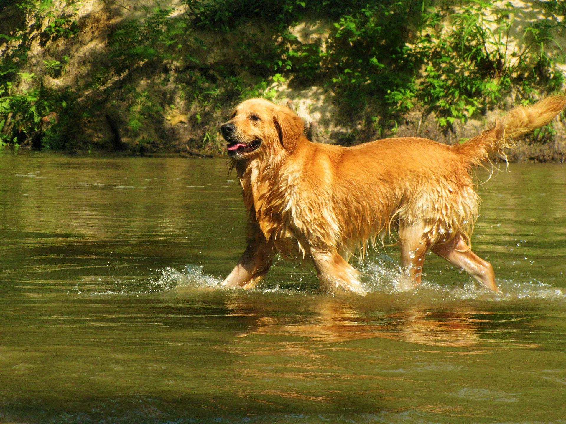 photo de golden retriever dans l'eau