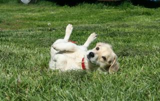 photo de chiot qui se roule dans l'herbe