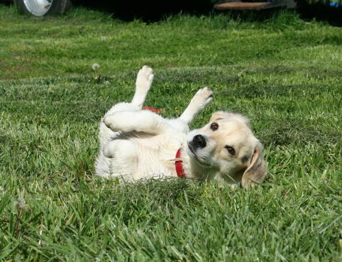 Le langage des toutous : pourquoi mon chien se roule dans l'herbe ?