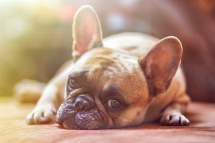 chien allongé au soleil
