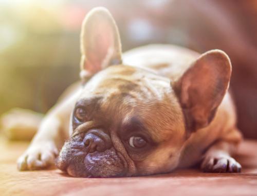 Comment aider votre chien à supporter la chaleur : conseils et astuces
