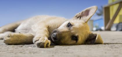 chien allongé sur le sol
