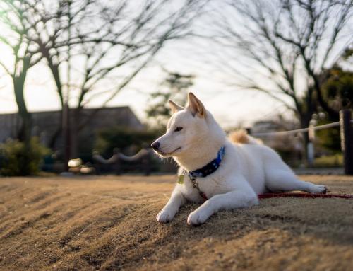 Le Caractère des toutous: les chiens indépendants