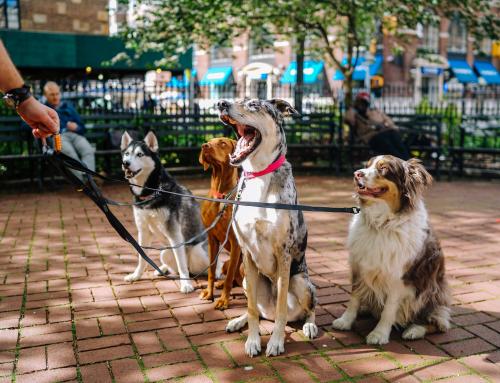 Guide du Maître: Apprendre à votre chien à marcher en laisse