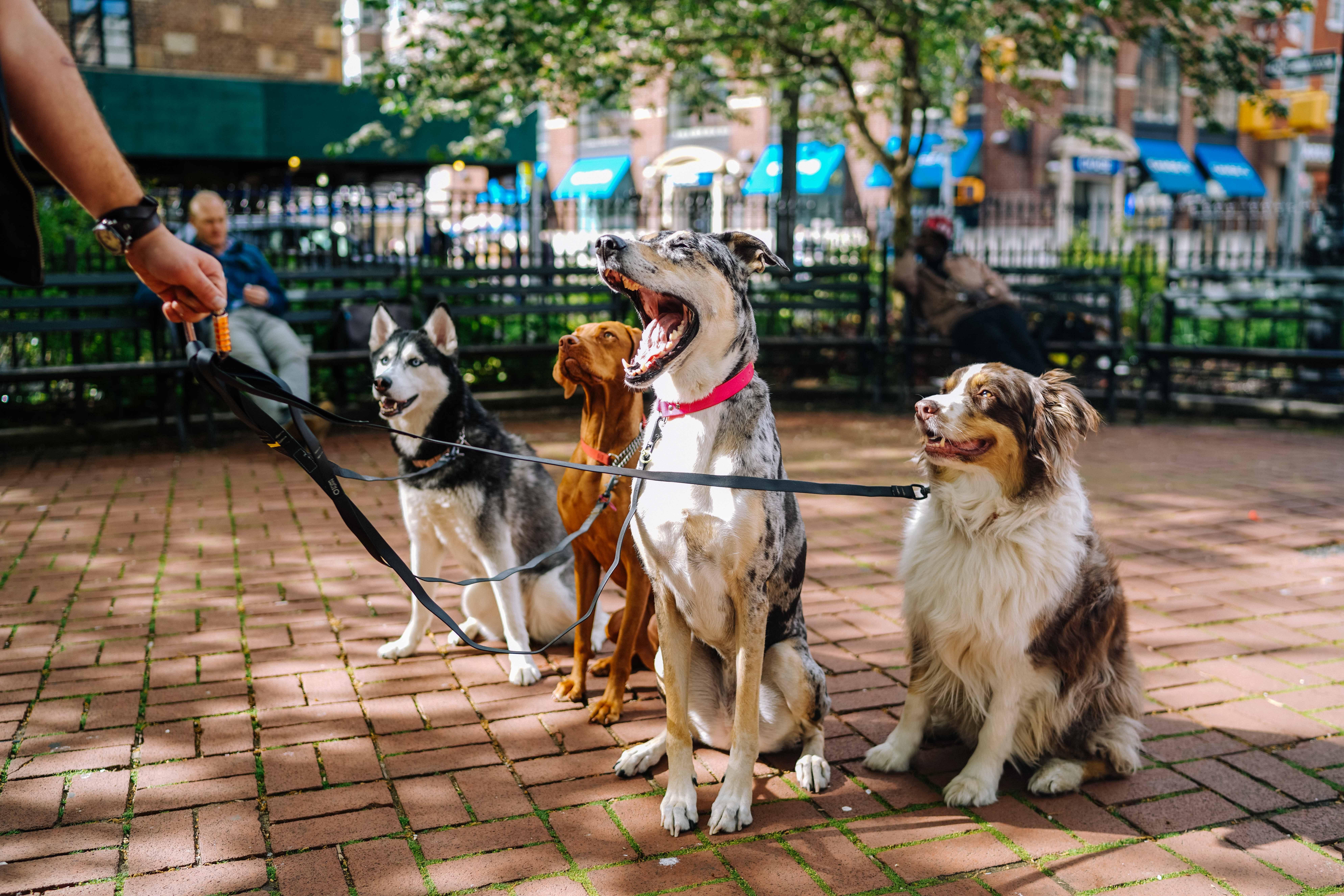 photos de plusieurs chiens tenus en laisse