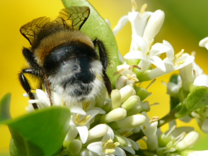 photo macro d'une abeille sur une fleur