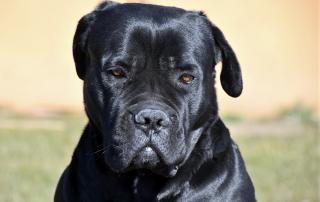 cane corso noir