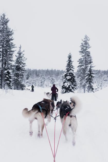 chiens de traineaux dans la neige