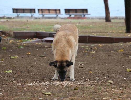 Le langage des toutous: pourquoi mon chien mange du caca?