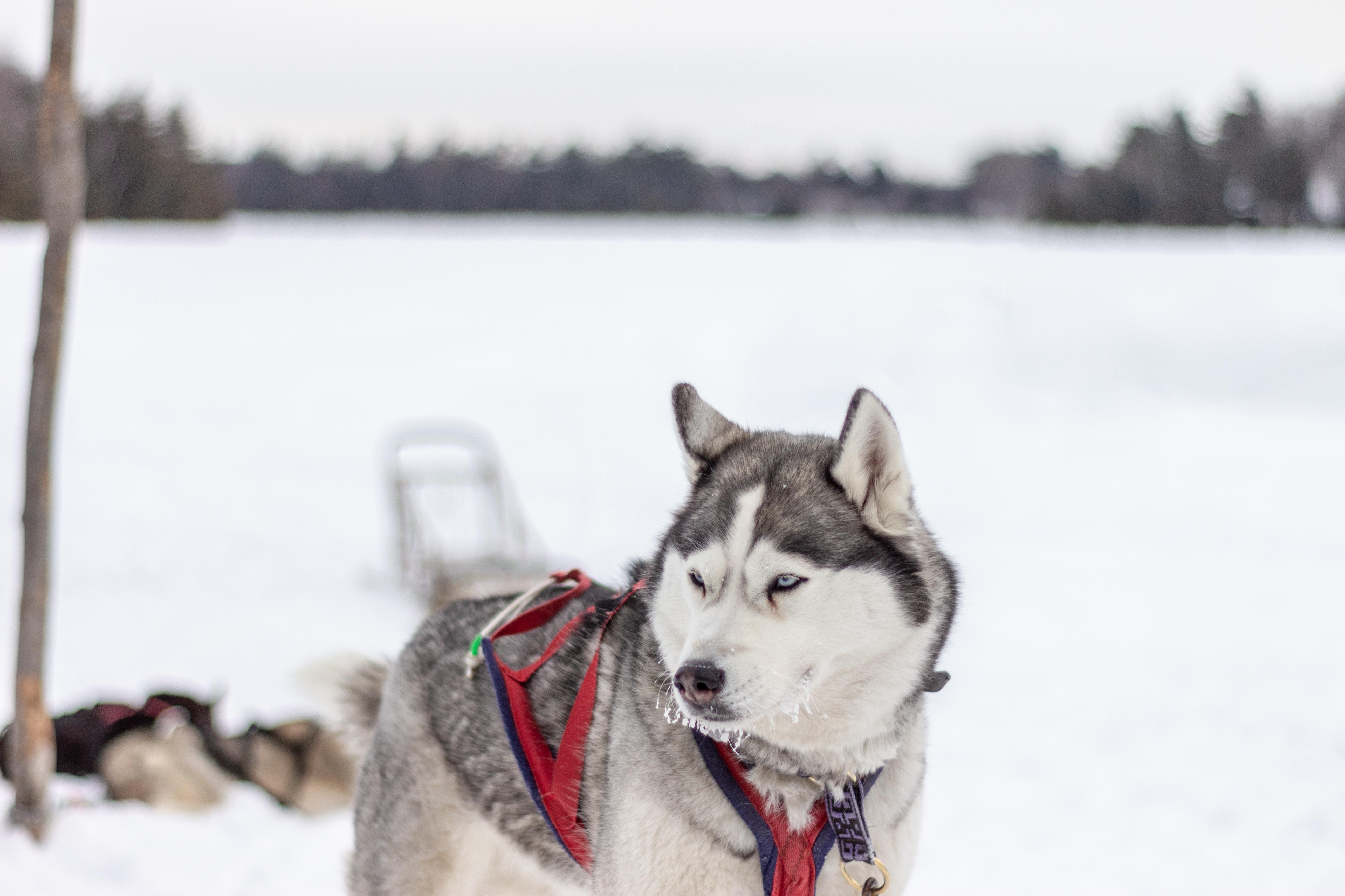 photo d'un husky dans la neige