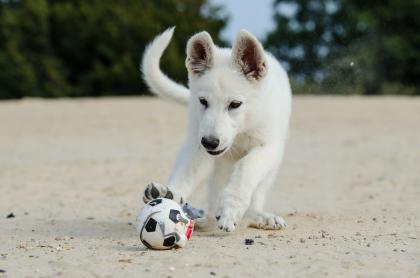 Photo de chien blanc jouant avec un ballon
