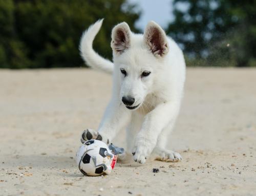 Faire une activité avec son chien: présentation du Treibball