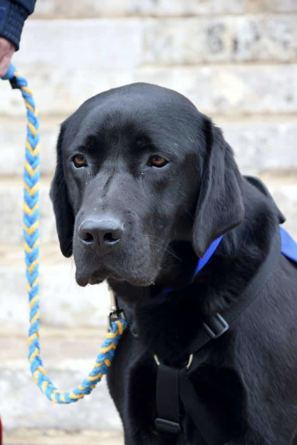 photo de labrador noir