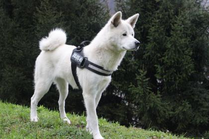 akita inu blanc