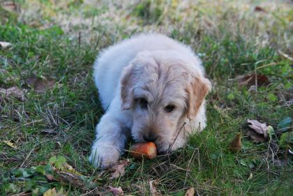 photo de chien qui mange une carotte