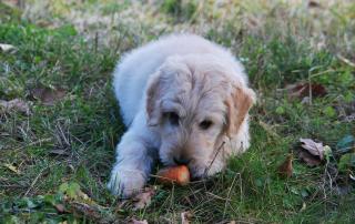 chien mangeant une carotte