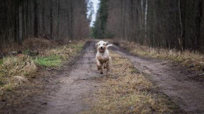 chien courant dans la forêt