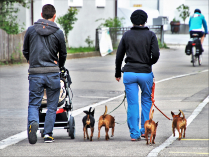 couple promenant plusieurs petits chiens