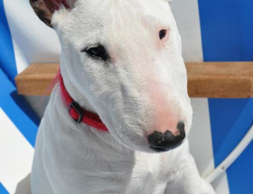 10 questions sur le Bull Terrier