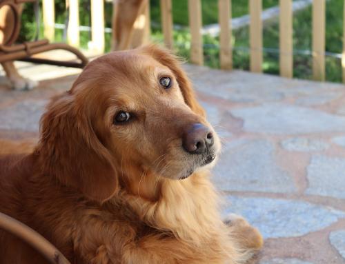 Des chiens dans les hôpitaux: découvrez la Cynothérapie !