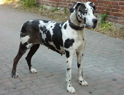 Tout savoir sur le Dogue Allemand