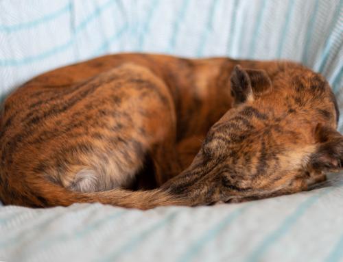 Le langage des toutous : pourquoi mon chien tourne en rond avant de se coucher ?