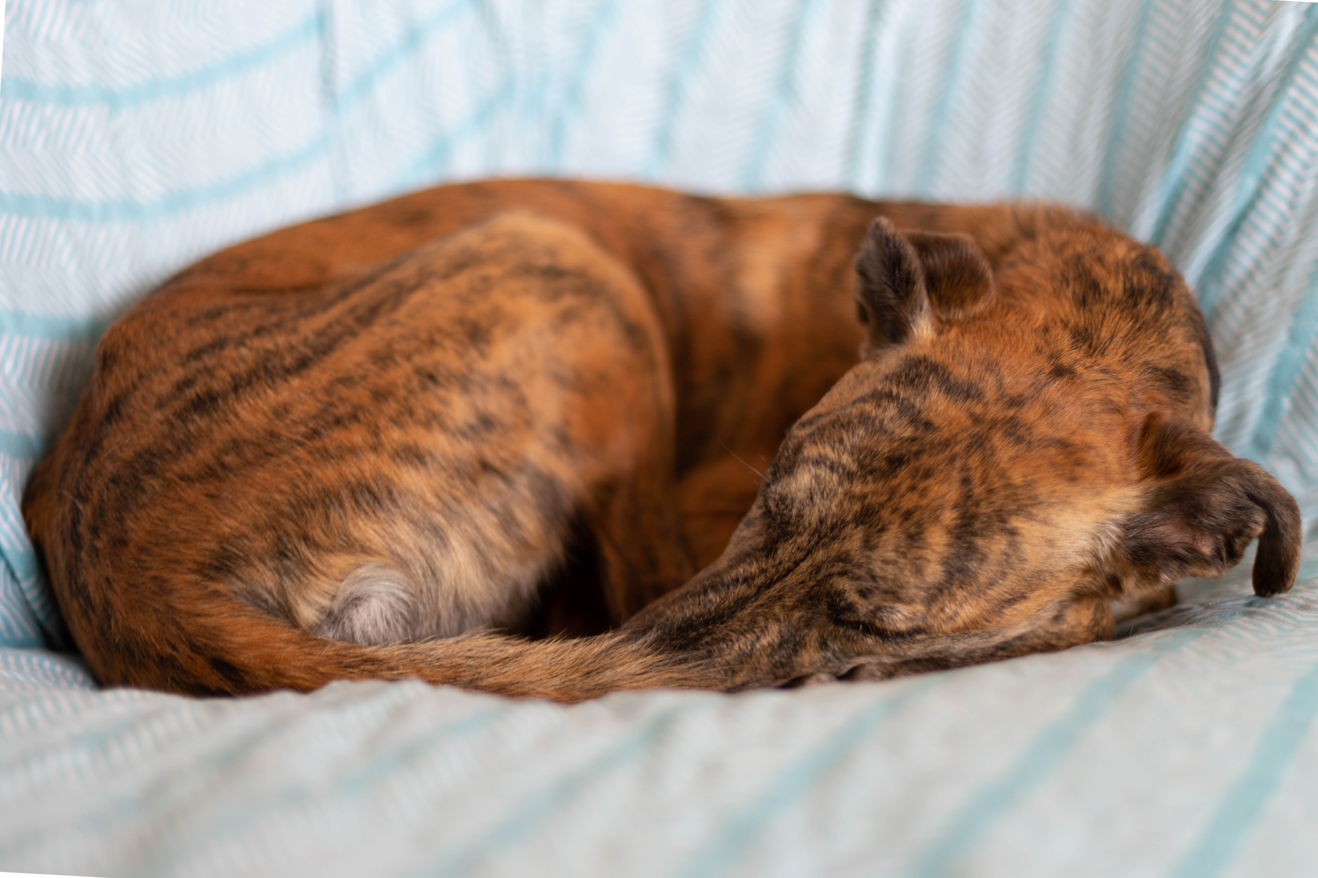 chien dormant en rond