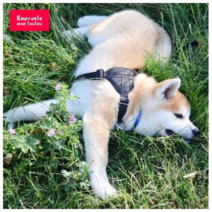 Akita inu dans l'herbe
