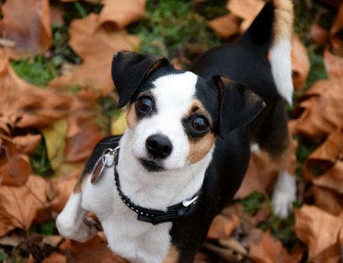 Les dangers de l'automne pour votre chien
