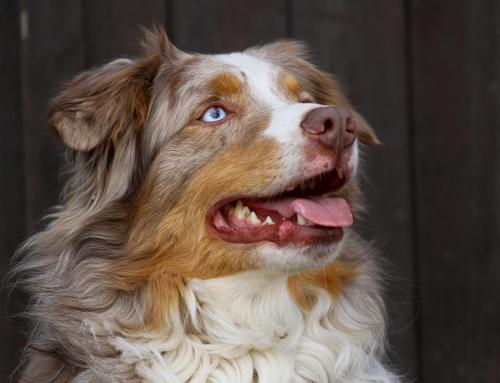 Les races de chiens préférées des Français