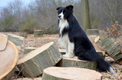 chien border collie