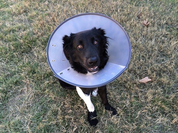 chien avec collerette