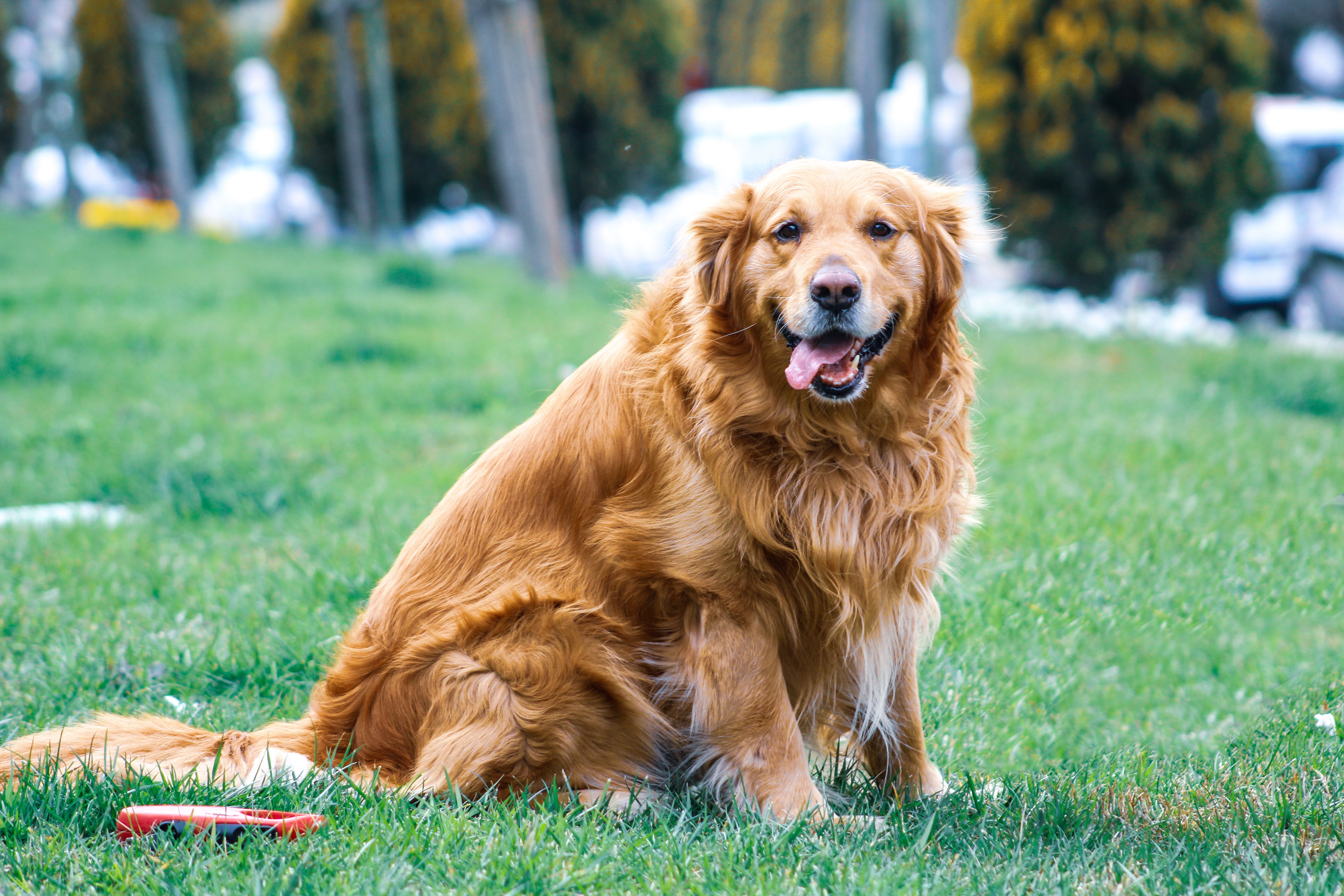 golden retriever en surpoids