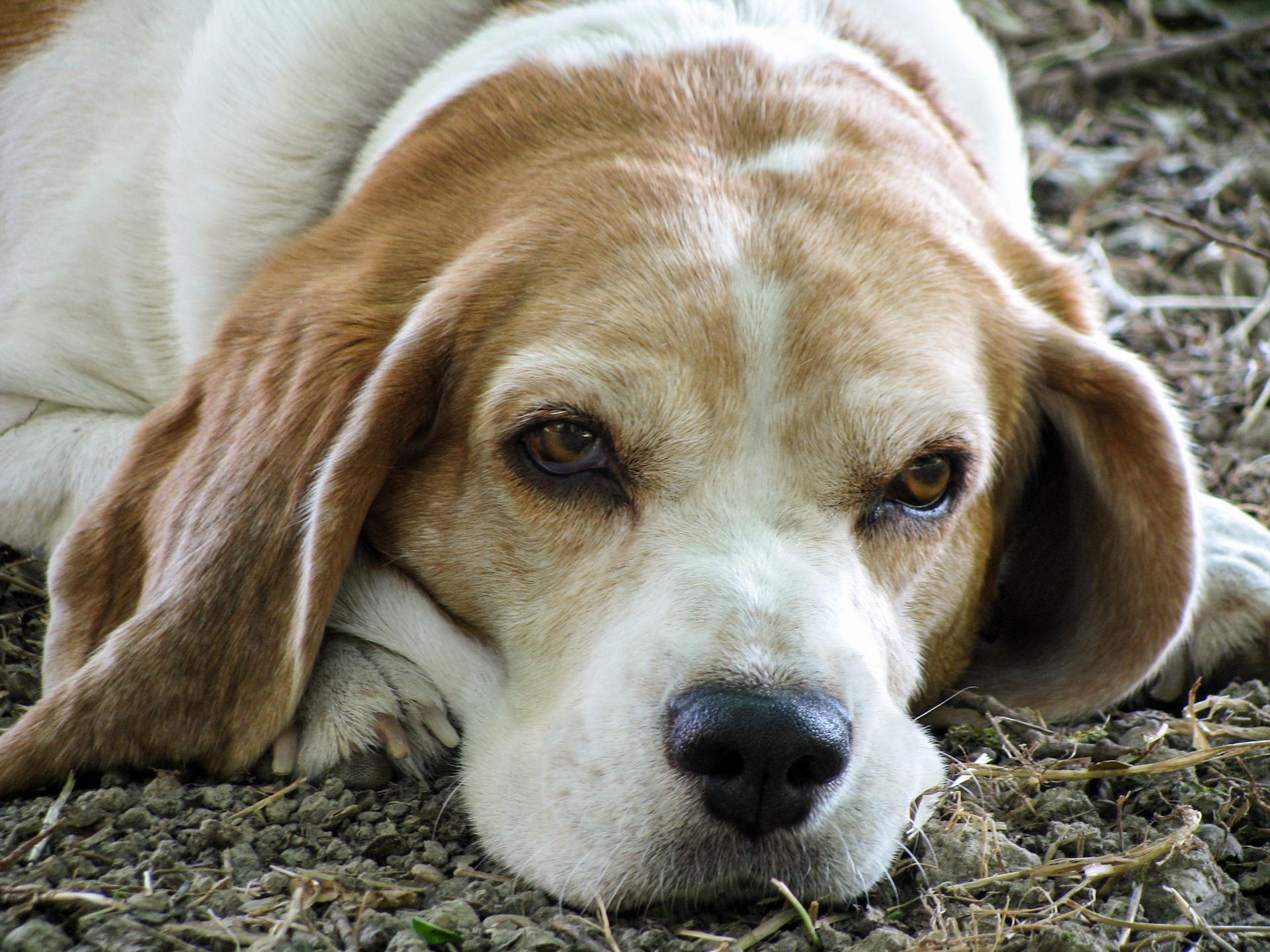 photo de chien âgé