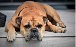 Comment savoir si votre chien s'ennuie ?