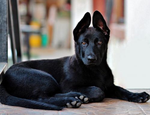 Pourquoi les chiens noirs sont moins aimés que les autres ?