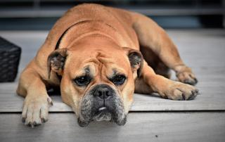 comment savoir si votre chien s'ennuie