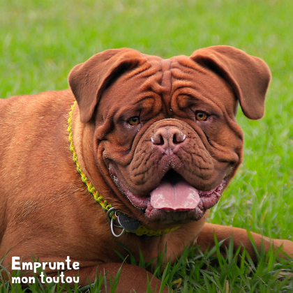 Questions sur le Dogue de Bordeaux